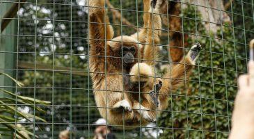 Gibbon Thrigby NCS