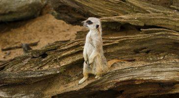 Meerkat at Thrigby