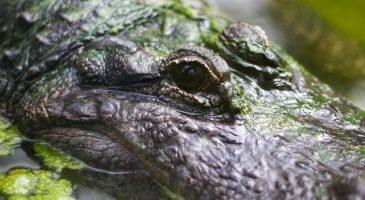 Crocodile at Thrigby